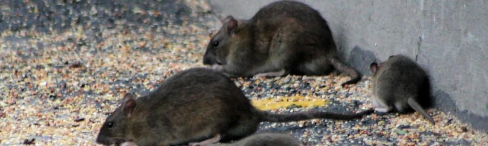 Eliminar ratas en Albacete