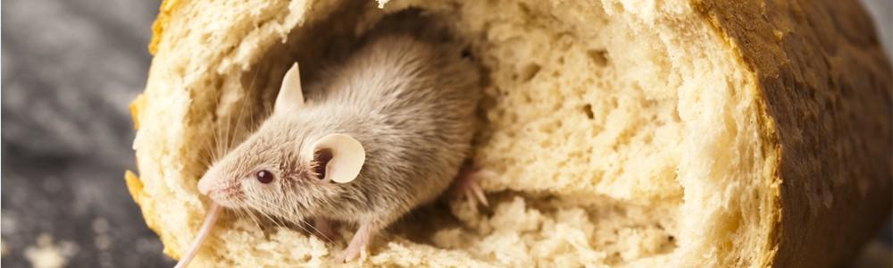 Plaga de ratones en casa gallery of plaga de ratones en - Como alejar las ratas de la casa ...