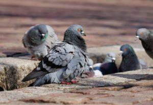 Control de plaga de palomas en Albacete